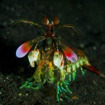 Mantis_shrimp_from_front