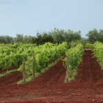 Wineyards in Istria