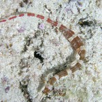 Banded_Pipefish