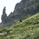 Marmot on the Albula